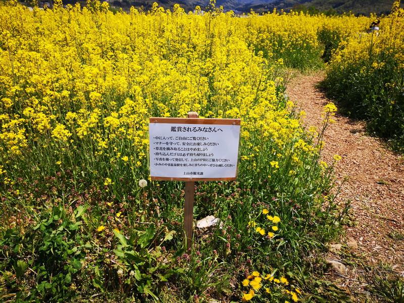 上山の菜の花2