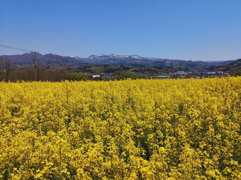 上山の菜の花1